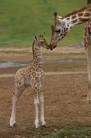rothschild giraffe giraffa photograph by san diego zoo