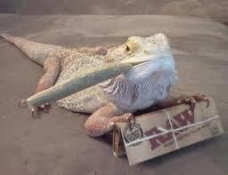 Lizard Meme - hehe lizard meme lizard best of the funny meme