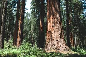 calaveras big trees state park california nerds on the road