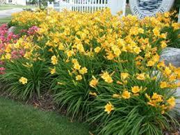 Stella Daylily 15 Best Stella De Oro Lilly Images On Pinterest Flower Gardening