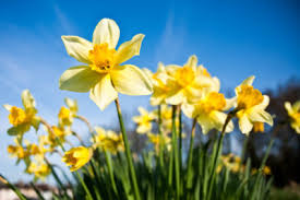 watering bulbs after flowering should you water dormant bulbs