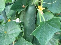 Cucumber Spacing On Trellis Cucumber Trellis