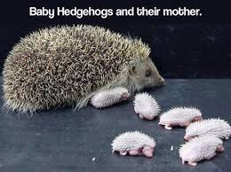 Hedgehog Meme - third comment loves hedgehogs meme by mike9200 memedroid