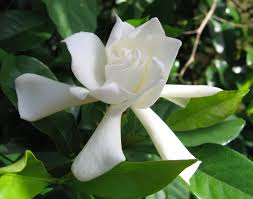cape jasmine gardenia jasminoides is a tropical shrub with