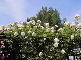 trellis roses file cemetery white rose trellis at theydon bois essex england
