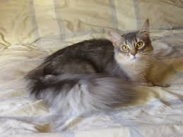 silver somalian cat when we get our house gatti pinterest