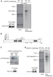 Anti Flag Antibody S Pombe Torc1 Activates The Ubiquitin Proteasomal Degradation Of