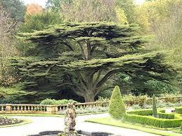 best 25 lebanon tree ideas on cedar trees lebanon