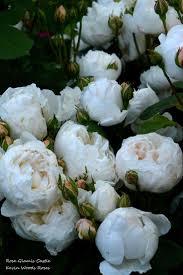 best 20 david austin roses ideas on pinterest david austin