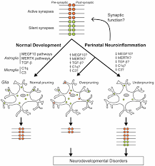 frontiers effect of neuroinflammation on synaptic organization