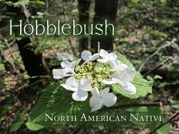 native plant nursery ontario hobblebush a native shrub that u0027s easy to love wildflower wednesday