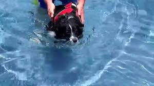 south dakota australian shepherd rescue miniature australian shepherd learning to swim in swimming pool