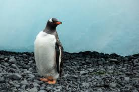 gentoo penguin wikipedia