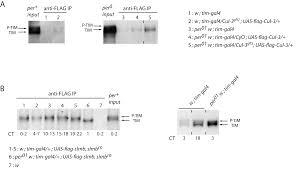 Anti Flag Affinity Gel Cullin 3 Controls Timeless Oscillations In The Drosophila
