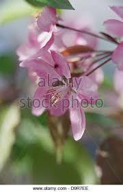Profusion Flowering Crabapple - flowering crabapple trees stock photos u0026 flowering crabapple trees