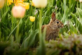 Rabbit Repellent For Gardens by 3 Ways To Keep Rabbits Out Of The Garden