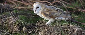 Barn Owl Sounds The Rspb Barn Owl