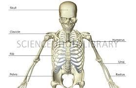 Human Anatomy Upper Body The Bones Of The Upper Body Stock Image F001 7914 Science