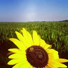 salina ks sunflower field by kansas state university republic county economic development blog