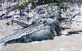 alligator claws jaws vs claws crocodile wrestles bull shark in australian river