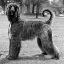 afghan hound vintage afghan hounds u0026 katsia damenkova afghan hound dog and dog modeling