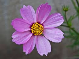 plants native to ireland cosmos bipinnatus wikipedia