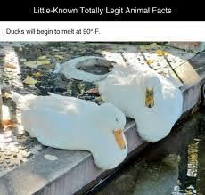 Duck Meme - melting ducks meme guy