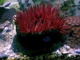 marine sea anemone photo gallery
