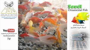 saudi ornamental fish 01 أسماك الزينة في السعودية