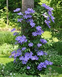 114 best purple passion images on pinterest flowers gardening