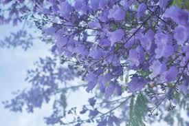 flowers san diego jacaranda tree purple flowers san diego california