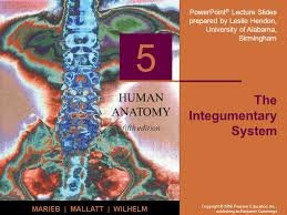 Human Anatomy Integumentary System The Integumentary System Ppt Video Online Download