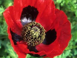 add colorful poppies to your garden hgtv