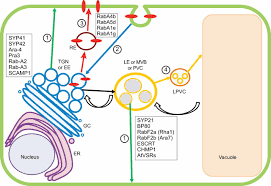 structure and function of endosomes in plant cells journal of