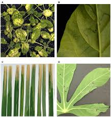 Symptoms Of Viral Diseases In Plants - frontiers image based phenotyping of plant disease symptoms