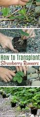 transplanting native plants transplanting strawberry runners one hundred dollars a month