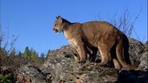 Montana wild animals images Cougar wild animal montana hd stock video 112 624 969 jpg