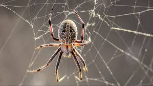 these super strength spiders u0027 webs are so strong they can hold