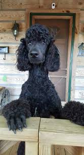 standard poodle hair styles standard poodles rock furry feathered friends pinterest