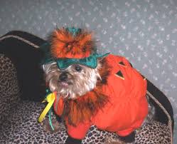 Yorkie Halloween Costumes 10 Halloween Costumes Yorkshire Terriers Yorkie