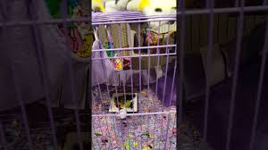 Gliders For Sale Sugar Gliders For Sale Youtube