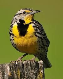 Montana birds images Western meadowlark montana 39 s state bird not only beautiful but jpg