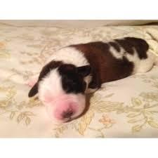bluetick coonhound puppies for sale in texas saint bernard puppies for sale in texas saint bernard breeder in