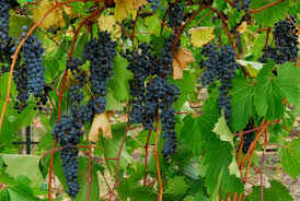concord grapes 2013 purchased my backyard trees flowers and