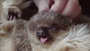 Angry Sloth Meme - london baby gifs get the best gif on giphy
