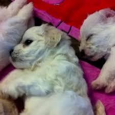 bichon frise 7 weeks old 18 best cachorros de bichon maltes images on pinterest animals