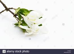 gardenia jasminoides cuttings on white background stock photo