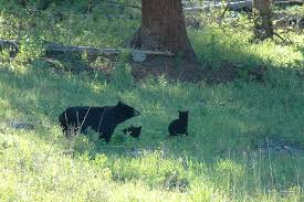 backyard beasts yellowstone national park cubs and coyote