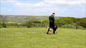 belgian sheepdog for sale uk freddie belgian shepherd by extremus dog training youtube