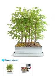 110 best bonsai trees n gardens images on bonsai trees